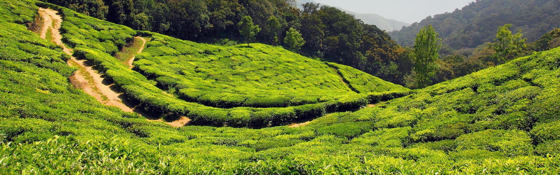 Tējas plantācijas